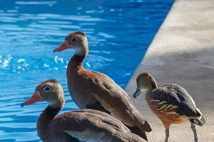 funny ducks
