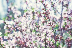 Blossoming almond steppe