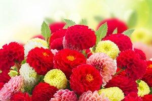 Fresh Dahlia flowers