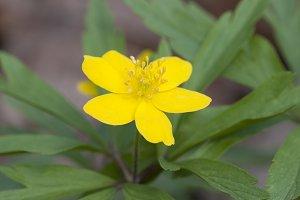 Anemone wild flower