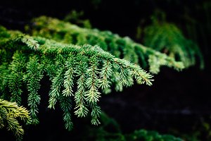 Fir Branches in Forest