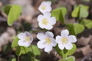 Wood Sorrel (Oxalis) flowers