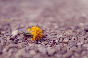 Yellow daffodil in gravel