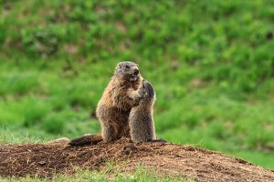 Female marmot with baby