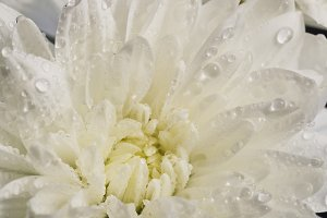 White chrysanthemum petals with water drops