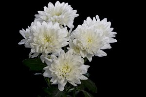White Chrysanthemum with water drops