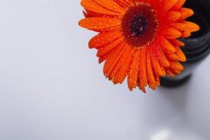 Orange gerbera with water drops
