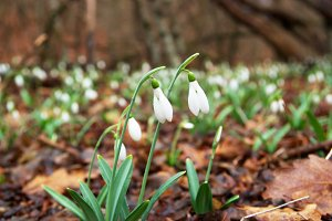 Spring flowers- white snowdrops