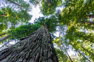 Towering California Redwood Trees