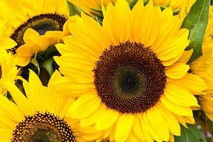 Bright sunflower blossoms