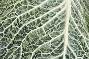 Cabbage leaf close up