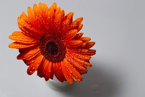 Orange gerbera with water drops on a white background