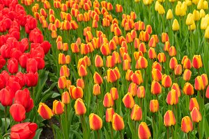 Rows of tulip flowers