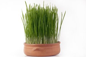 Green Wheat Sprouts In A Pot