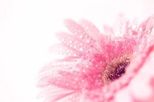 Gerbera flower with droplet