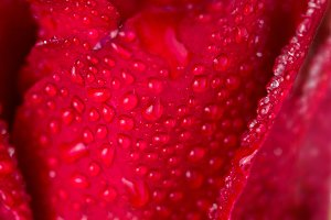 Close up wet red rose petal