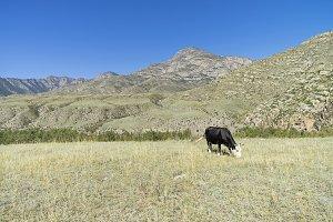 Black cow grazing on mountain meadow