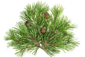 Pine tree branches with cones