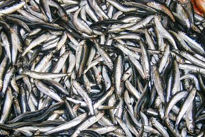 Sardines background