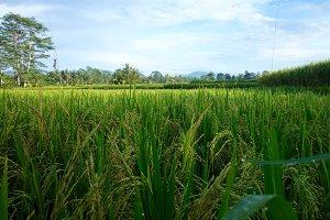 Rice terrace - Ubud, Bali