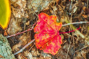 autumn red leaf on moss and foliage