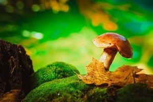 fresh brown cap boletus mushroom on moss