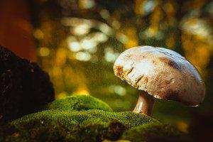 fresh mushroom forest champignons grows on moss