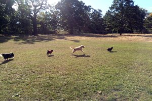 Four dogs running across the park