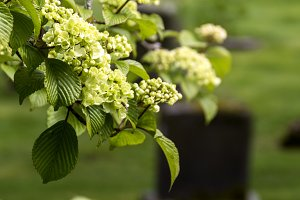 Hydrangeas and Gravestones
