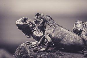 Wild Lizards