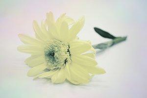 Bouquet Daisy