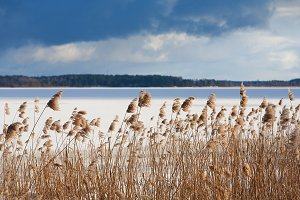 Yellow reeds in the frozen river