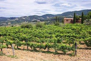 Grape fields. Tuscany