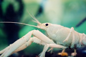 White crayfish