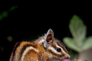 Sonoma chipmunk (Tamias sonomae)