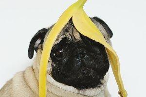 Pug dog with banana on head
