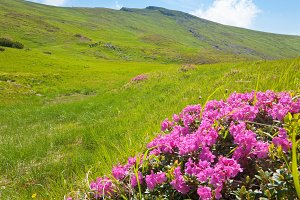 Rhododendron flowers in summer mount