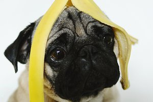 Pug dog with banana skin portrait