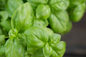 Fresh green organic Basil