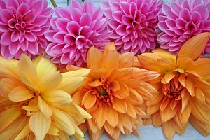 two row dahlias