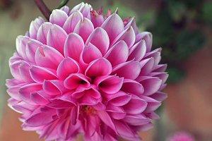 fall pink dahlia