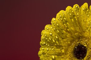 Yellow gerbera with drops of water on a white background
