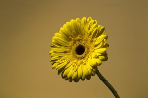 Yellow gerbera on the color background