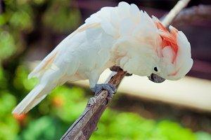 white parrot