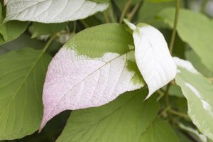 Actinidia kolomikta leaves