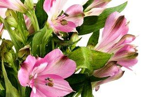 Beautiful Pink Alstroemeria
