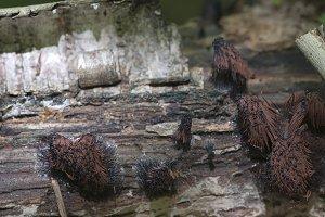 Myxomycetes Stemonitis fusca