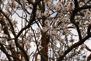 Almond Tree Branches