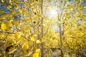 Aspen Trees in the Sun