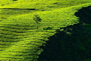 Tea Plantations. India